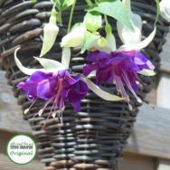 Fuchsia Trailing Giant Deep Purple Plug Plant
