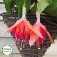 Fuchsia Trailing Giant Marbeller™ Orange King Plug Plant