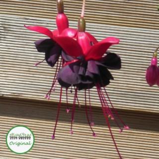 Fuchsia Trailing Blacky Plug Plant
