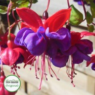 Fuchsia Trailing Blue Eyes Plug Plant