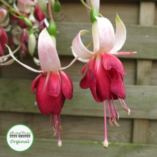 Fuchsia Trailing Frosted Flame Plug Plant