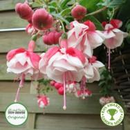 Fuchsia Trailing Swingtime Plug Plant