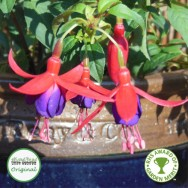 Fuchsia Upright Hardy Army Nurse Plug Plant