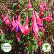 Fuchsia Upright Hardy Tom Thumb Plug Plant
