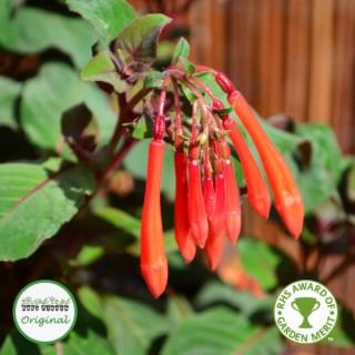 Fuchsia Upright Thalia Plug Plant