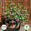 Fuchsia Upright Winston Churchill Plug Plant