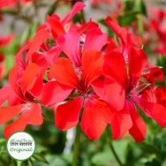 Geranium Trailing Gerainbow™ Red Plug Plant