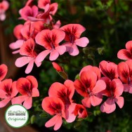 Geranium Upright Angel Eyes Orange Plug Plant