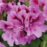 Geranium Upright Regalia™ Lavender Plug Plant