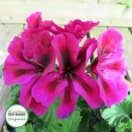 Geranium Upright Regalia™ Purple Plug Plant