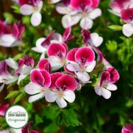 Geranium Upright Angel Eyes Bicolour Plug Plant