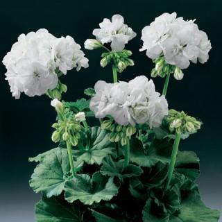 Geranium Upright Blanca Plug Plant