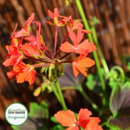 Geranium Upright Chocolate Twist Plug Plant
