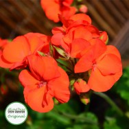 Geranium Upright Shocking Orange Plug Plant