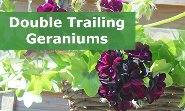 Buy Double Flowering Trailing Geraniums