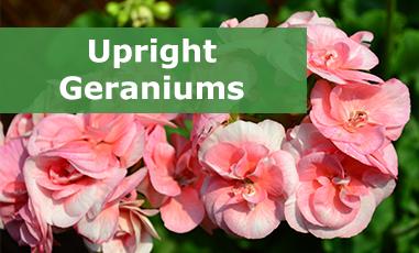 Buy Upright Geraniums