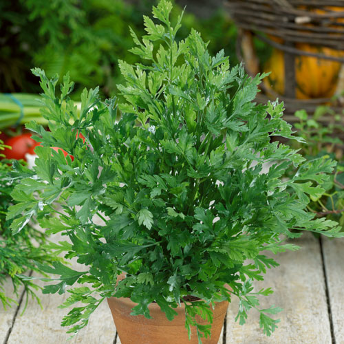 Buy Parsley plug plants online - Babyplants