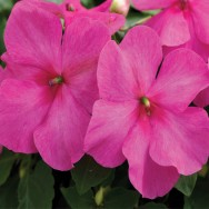 Impatiens Xtreme™ F1 Pink mini-plug bedding plants