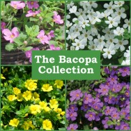 The Bacopa Collection (6 plug plants)