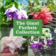 The Giant Fuchsia Collection (6 plug plants)