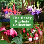 The Hardy Fuchsia Collection (6 plug plants)