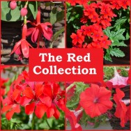 The Red Collection (6 plug plants)