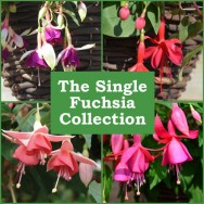 The Single Flowered Trailing Fuchsia Collection (6 plug plants)