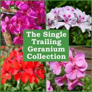 The Single Flowered Trailing Geranium Collection (6 plug plants)