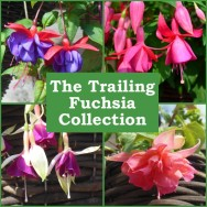 The Trailing Fuchsia Collection (6 plug plants)
