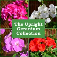 The Upright Geranium Collection (5 plug plants)