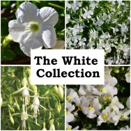 The White Collection (6 plug plants)