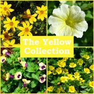The Yellow Collection (6 plug plants)