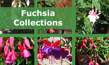 Buy Mixed Fuchsia Plugs