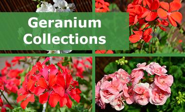 Buy MIxed Geraniums Online