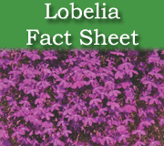 Click here to view the Lobelia fact sheet