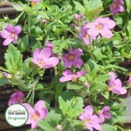Bacopa Great Classic Pink Plug Plant