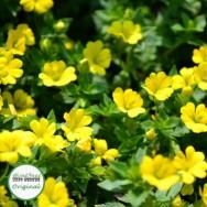 Bacopa Yellow Mecadonia Plug Plant
