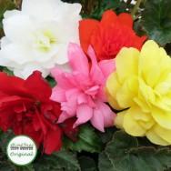 Begonia Illumination® Mixed Plug Plant