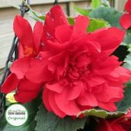 Begonia Illumination® Scarlet Plug Plant
