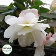 Begonia Illumination® White Plug Plant
