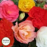 Begonia Nonstop® Mixed Plug Plant