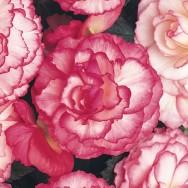 Begonia Nonstop® Rose Petticoat Plug Plant