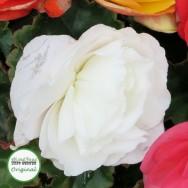 Begonia Nonstop® White Plug Plant