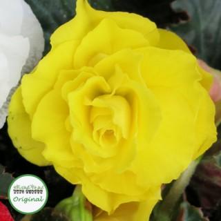 Begonia Nonstop® Yellow Plug Plant