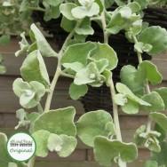 Helichrysum Gold Plug Plant