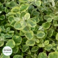 Helichrysum Variegated Plug Plant