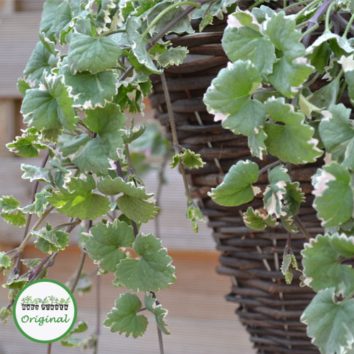 Image Result For Potted Plants For Shade