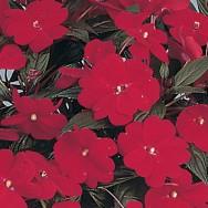 New Guniea Impatien Harmony® Dark Red Plug Plant