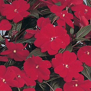 New Guniea Impatien Harmony® Dark Red Plug Plant