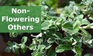 Buy Non-Flowering Plug Plants
